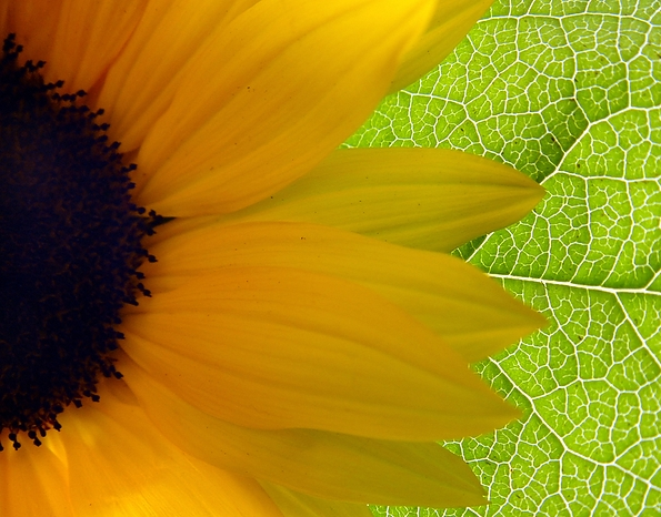 Bigstockphoto Bright Sunflower 13212